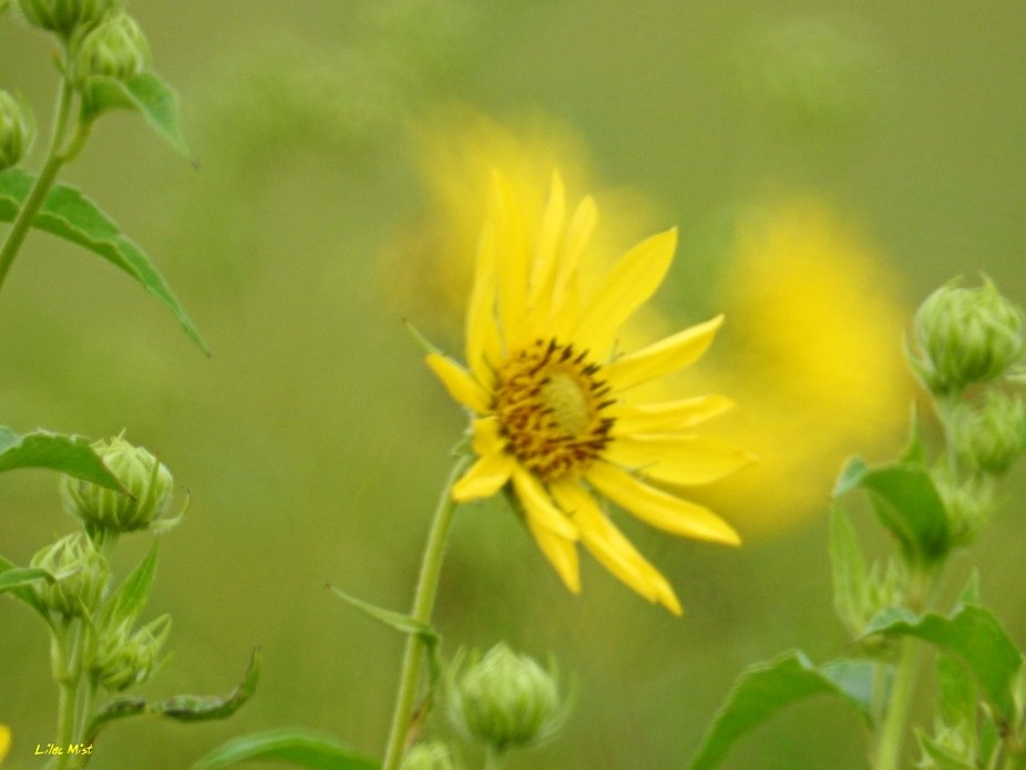 The color is yellow, with this wild sunflower !