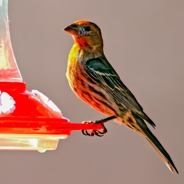 I cannot convince this house Finch it is NOT a Hummingbird. He visits the Hummingbird feeder at least once a day.