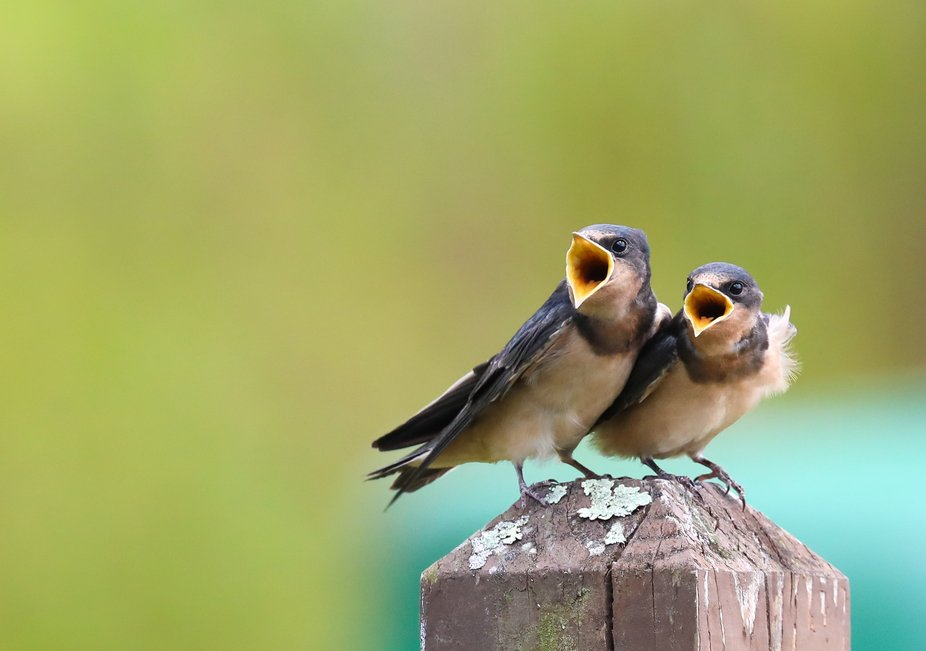These adorable swallows were perched on a post along with several others. The adults took turns s...
