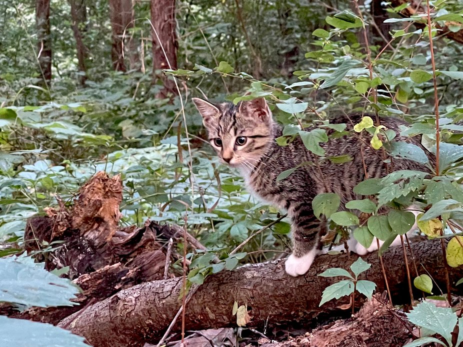 A kitten playing in the woods in Oklahoma
