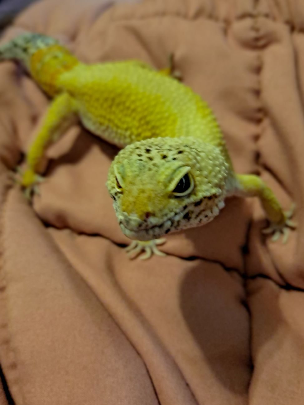 Lizzie is our pet Leopard Gecko