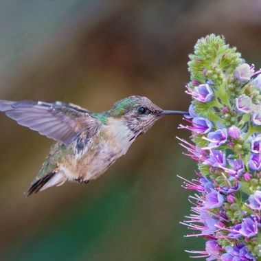 Calliope Hummingbird DSC00602