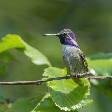 Costa's Hummingbird DSC04169
