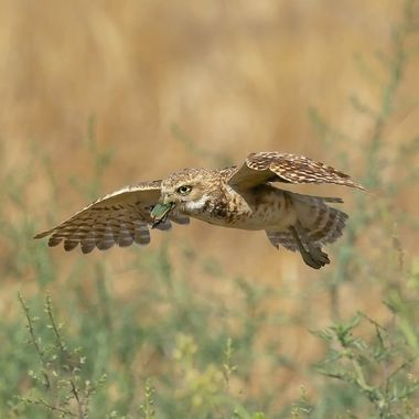 The burrowing Owls have been our main attraction during the summer season when most seasonal birds in the Los Angeles Basin have migrated north. Thus was taken in 2019 and the temperature was the 90/s F) or above 32 degree C in the field where there is no shade from trees.