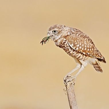 Burrowing Owl with a metallic figeater beetle taken today.  We had a balmy 85 degree F with just a slight breeze.  This is consider a cool day at the inland side of Los Angeles Basin during a normal summer day.