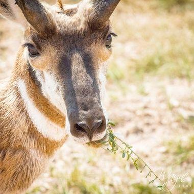 Custer state park South Dakota. Antelope caught having his lunch.