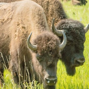 North American Buffalo/Bison in Custer State Park, South Dakota. We took a 2 hour safari and loved every minute of it. Well worth the time and money spent.