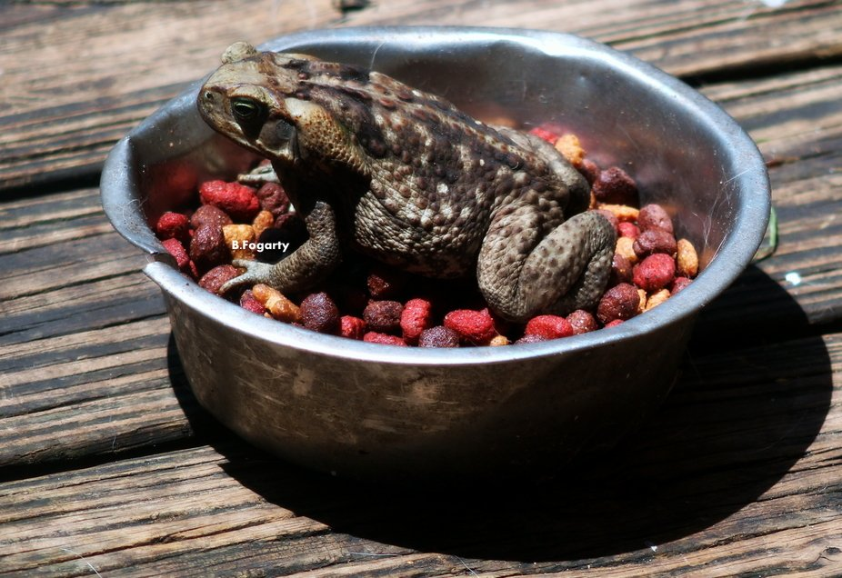 Toad,having a feast with the dog chow