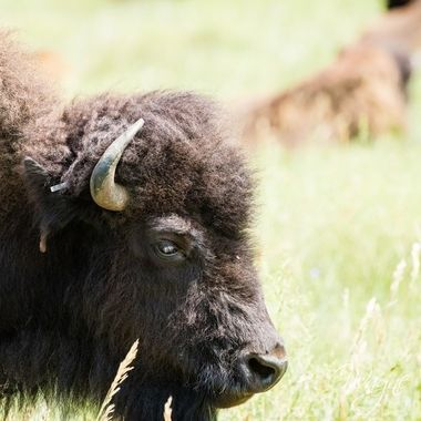 Custer State Park, buffalo safari, had so much fun roaming through all the back areas and off the beaten path.