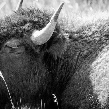 Custer, South Dakota, buffalo safari.