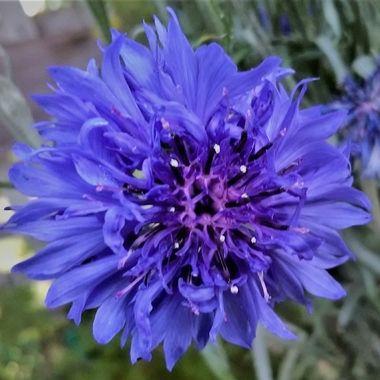 Pretty Blue Cornflower