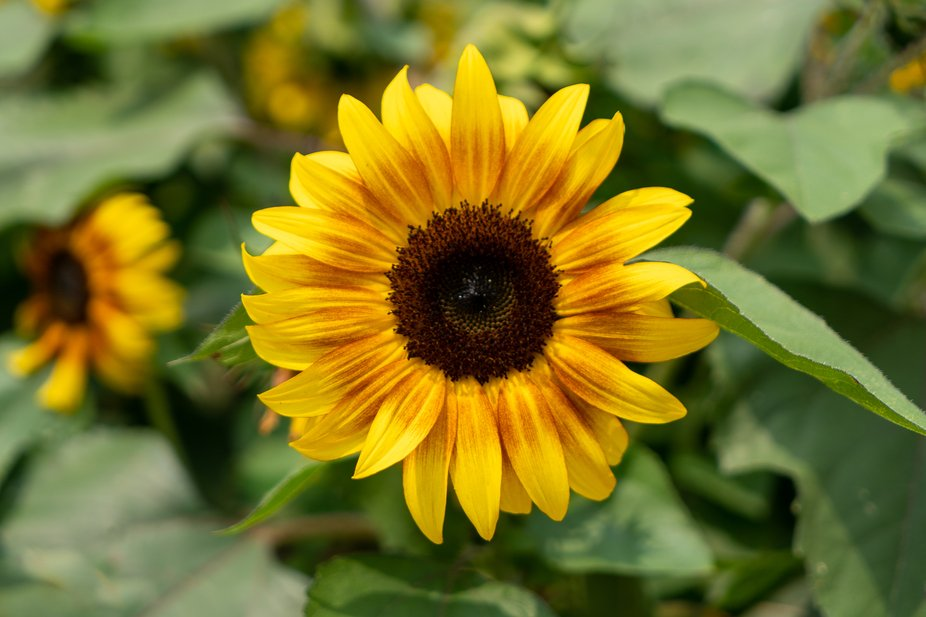Sunflowers in bloom signify the end of summer for me.  I am fortunate to have several local sunfl...