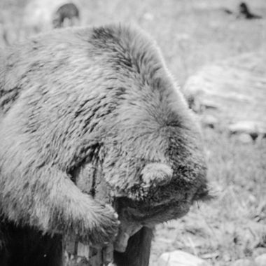 Bozeman, Montana-- The Montana Grizzly Encounter.  Home to several Grizzly bears, Max is a 2 year old Grizzly weighing in at over 500 lbs.    Also the location to a famous Grizzly Bear, Brutus, who passed away at 19 years of age back in February.