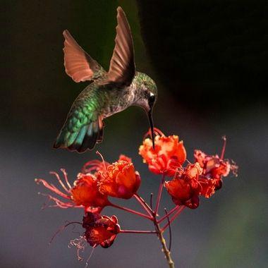 Costa hummingbird finding a Sweet Snack