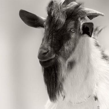 A goat on a goat farm on the island of Maui...