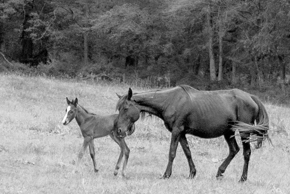 Black and white of a brood mare and her foal.
