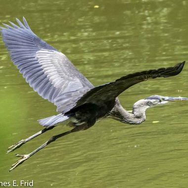 Great Blue Heron after fishing and frogging in a small suburban pond.