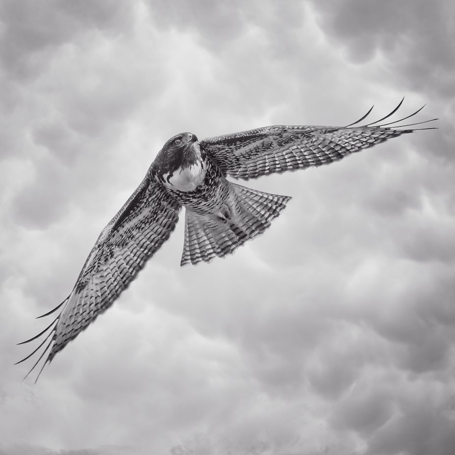 Beautiful and graceful as it soars above looking for it's next meal...