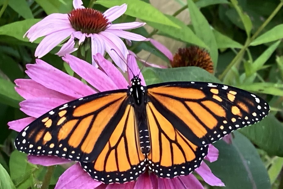 This lovely femal monarch emerged and was release.yesterday, August 4, 2021. I love raising monarchs from the eggs I gather on my milkweed.