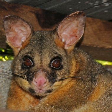 Brush Tailed Possum