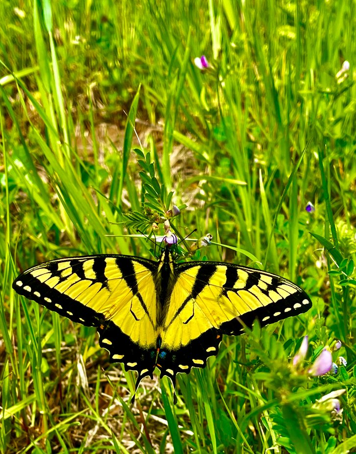 Beautiful butterfly in Oklahoma