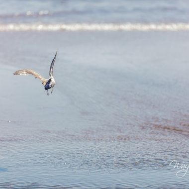 Gulls are thick here in southern california. They were all over the place and plenty of opportunity to take some good catches here and there.