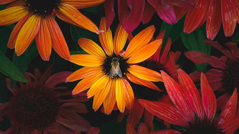I caught this honeybee on an echinacea (Cheyenne mix) at the beginning as a summer cloudburst.