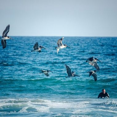 A flock of pelicans were sitting in the water just outside where it was breaking. They kept flying away then coming back.