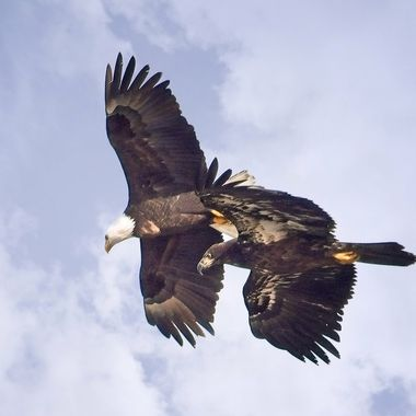 These two were part of a large eagle gathering I was privileged to witness last winter in Washington.