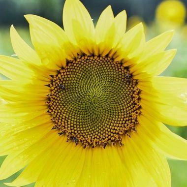 Yellow sunshine