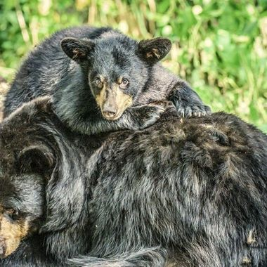 This little cub has mischief in it's eyes but mom just wants to catch a nap!