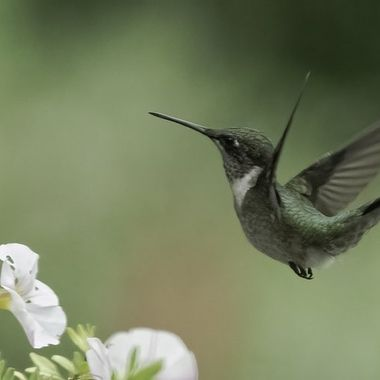This female Ruby-throated Hummingbird visits this white flowered plant several times a day.  20210815 - Jim Frid - 403-Edit