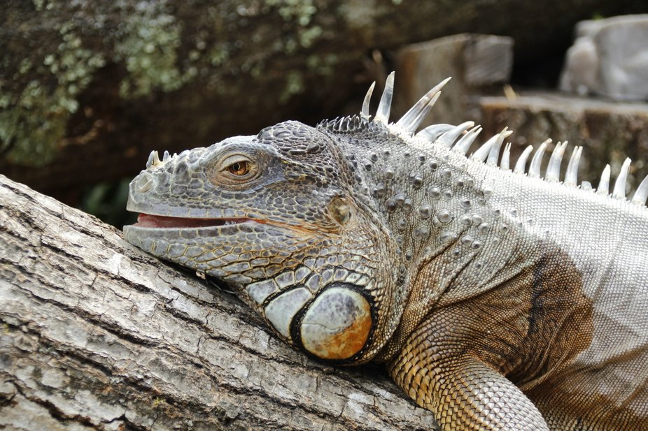 The Iguana from Southwick's Zoo, in Mendon, Ma.  just chillin on his log, minding his ow...