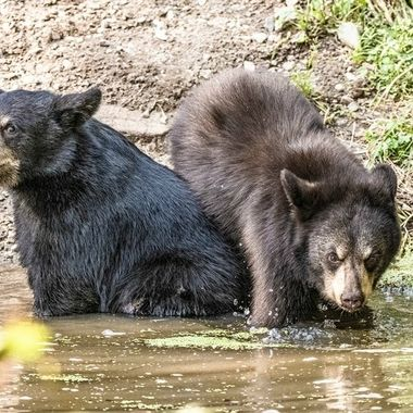 Pair of black bear cubs in a creek to drink and cool off on a hot August day