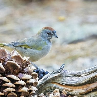 Green-tailed Towhee DSC09896