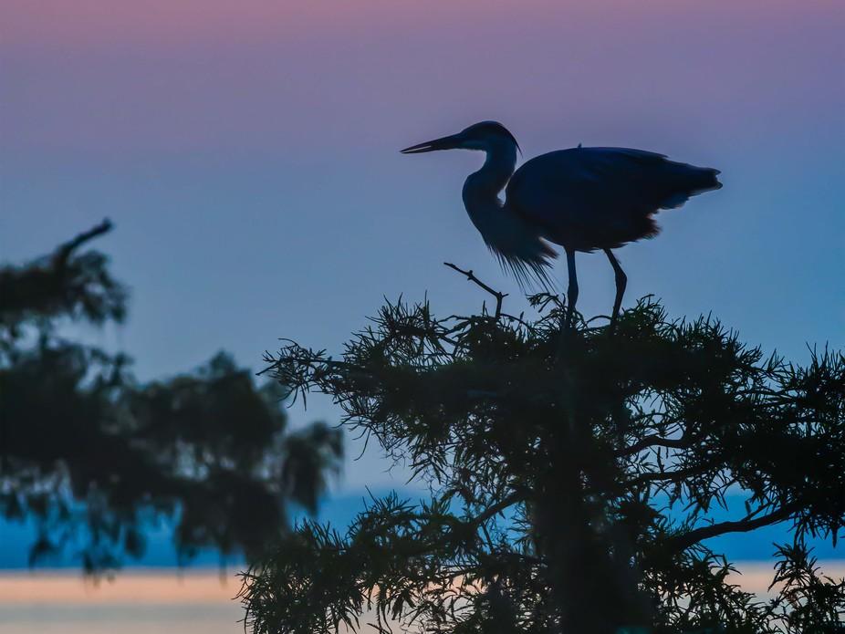 Great Blue Heron at Dawn