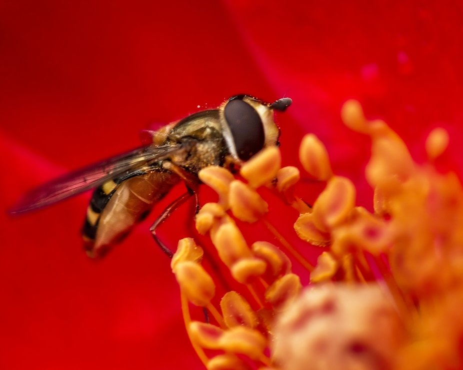 A small bee in the middle of a wild rose.