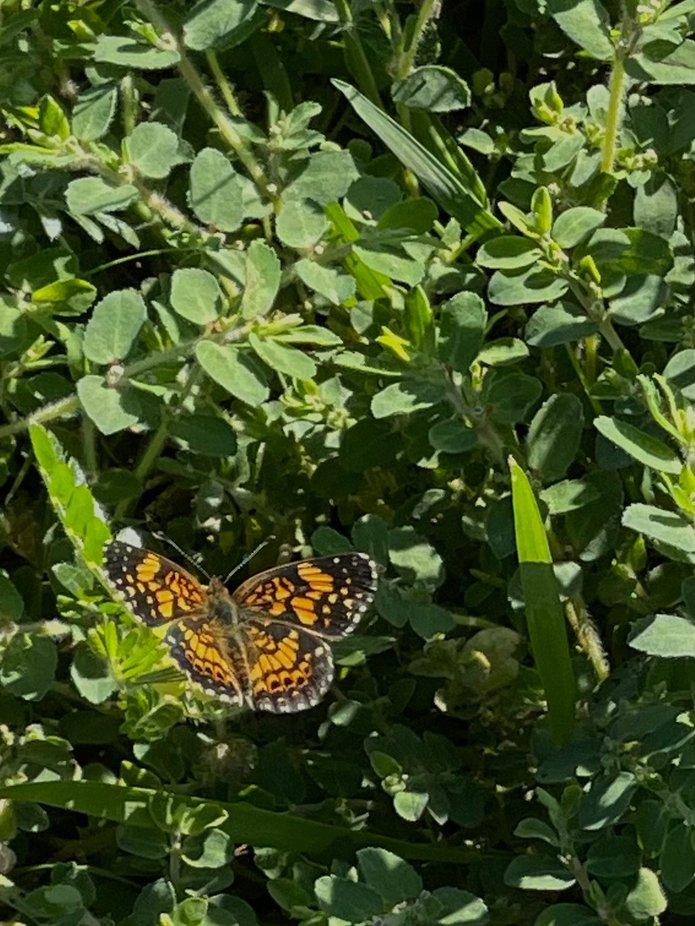 Macro Butterfly in Clover