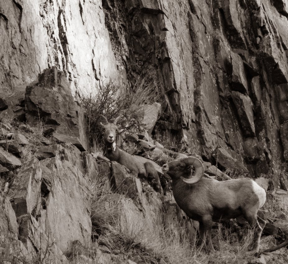 Big Horn Sheep in the Mountains