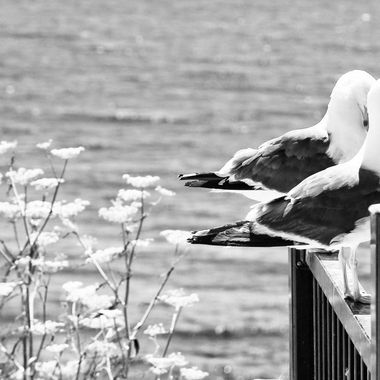 Seagulls along the central coast of California!