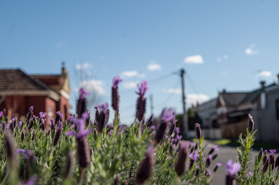 Lavender plant in the outdoors
