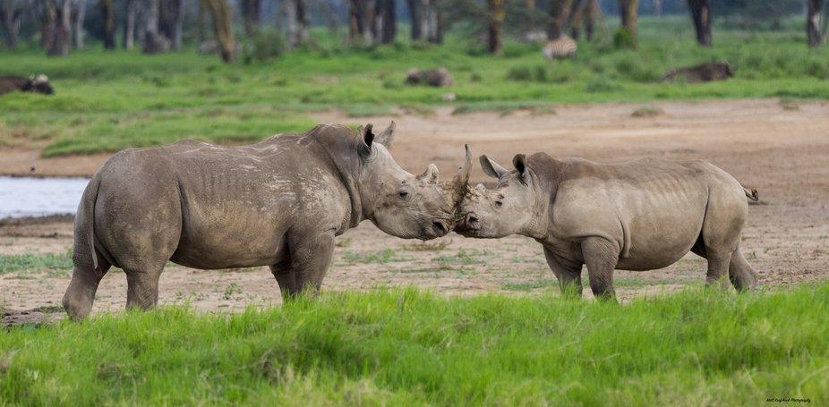 Rhino's getting ready rumble Kenya Africa