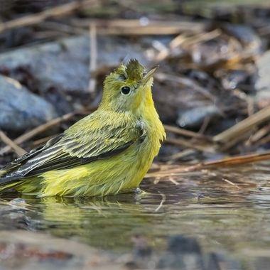 Wilson's Warbler bathing DSC05032