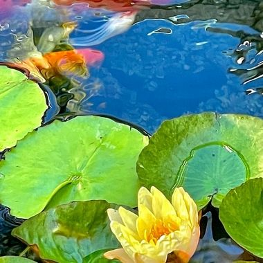 Water lily and Koi