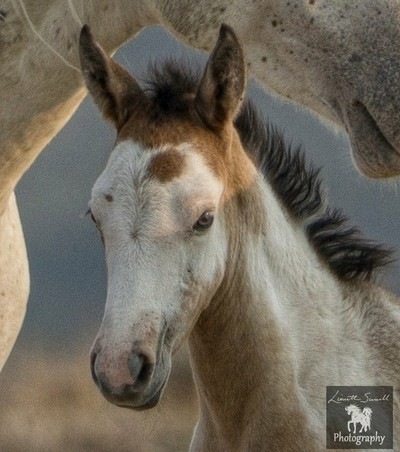 Firewater a young filly of the Sand Wash Basin with her sire, Cary