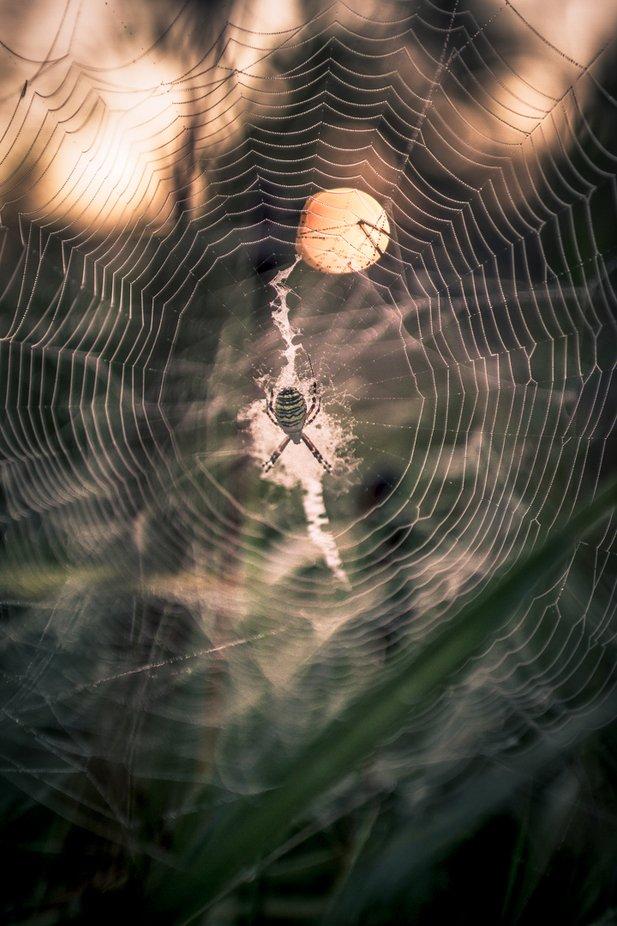 wasp spider [Argiope bruennichi]