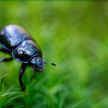 Dung Beetle in the moss.