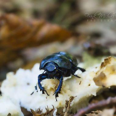 Dung beetle eats mushroom