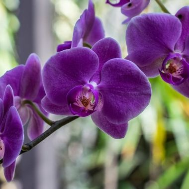 M's Orchid III