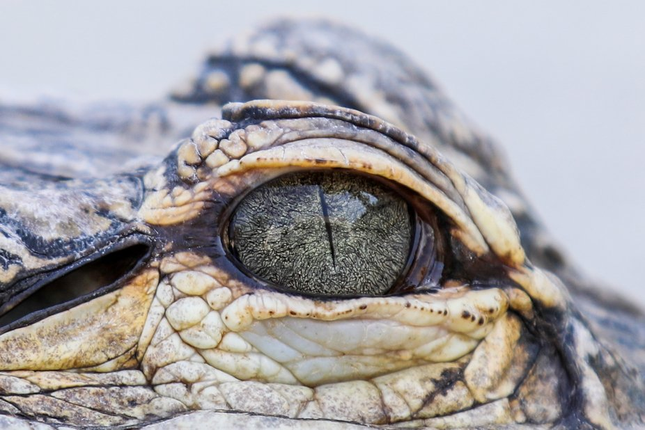 Eye of a Gator